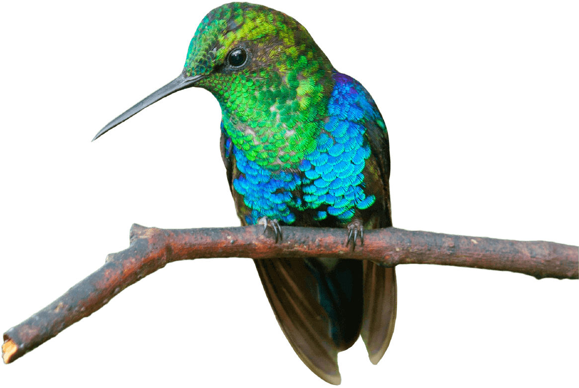 Main Colibri bird